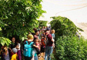 Thousands Enjoy Cherry Picking Festival in Judea
